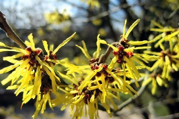 Information about Witch Hazel and It's uses